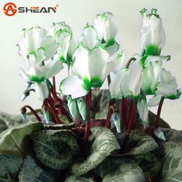2019 bordo giardino fiorito Green Edge White Cyclamen Flower Seeds Piante da fiore perenni Cyclamen Seeds for DIY Home Garden - 100 PCS bordo giardino fiorito economici