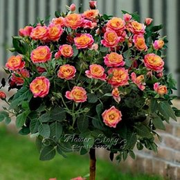 Wholesale Orange Rose Seeds - 50 Orange Rose Tree Seeds Flower Bonsai DIY Garden Plant Pleasant-Smelling Fragrant Free Shipping