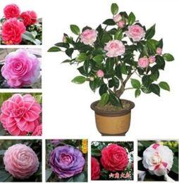 50 pezzi / sacchetto, semi di Camelia, Camellia japonica, piante in vaso, piantare stagioni, piante da fiore cheap camellia flower plant da pianta di fiori di camelia fornitori