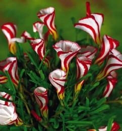 2019 semi di rosa all'ingrosso arcobaleno Spedizione gratuita Oxalis versicolor fiori semi 50 PZ World's Rare Fiori Per Giardino piantare a casa O.versicolor Fiori Semillas