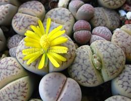 100 Rare Mix Lithops Seeds Living Stones Cactus succulente Organic Garden Bulk Seed S016 cheap rare succulents da rari succulenti fornitori