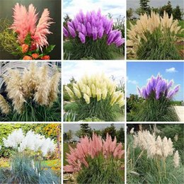 Wholesale common mix - Rare Mixed Colors Pampas Grass Seeds ,So Beautifully Plant Seeds Decorated Courtyard Cortaderia Selloana Grass -900pcs  Lot