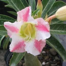 plantes roses du désert Promotion Graines roses et blanches uniques de désert rose Graines de fleurs en pot Graines ornementales graines Adenium Obesum