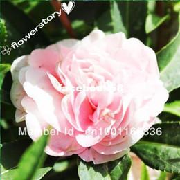 flores impresionantes Rebajas 100 colores mezclados DOBLE CAMELIA IMPATIENS (Balsam / Lady Slipper) Semillas de flores Impatiens Balsamina !! Impresionante