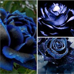 2019 semillas enanas Semillas de la planta sénior, semillas de rosas azules y negras PC 200, semillas de flores bonsái