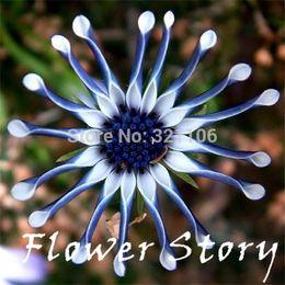 Ornamentali blu online-Spedizione Gratuita 50 Blue Daisy hardy piante semi di fiori esotici fiori ornamentali