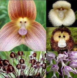 Wholesale Orchid Flower Plants - Flower pots planters Beautiful Monkey face orchids seeds Multiple varieties Bonsai plants Seeds for home & garden 50 seeds
