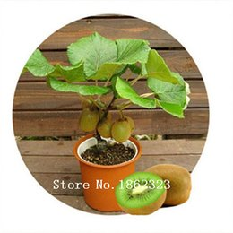 Wholesale Wholesale Fruit Gifts - 100 rare bonsai kiwi seeds send seeds for gift fruit seeds for DIY home garden planting new year only $1.11