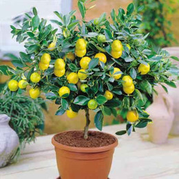 Wholesale perennial sales - 2017 Lemon Seeds 50 Pcs pack Rushed Hot Sale Temperate Perennial Aries for Tree Bonsai Fruit Seed for Home Garden