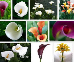 Wholesale Promotion Calla lily seeds cheap calla lily seeds calla lily potted seed Bonsai balcony flower seeds b