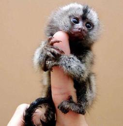 Wholesale Interactive Talk - Interactive Baby Monkeys 6 colors Blink Eyes Turn heads Blow Kisses Talk in Monkey cute Finger Monkey Novelty Toy C3059