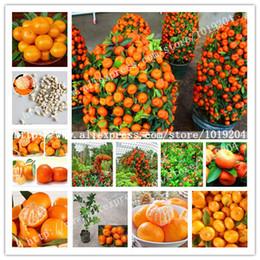 2019 sementes de laranjeiras Semente de laranja dourada deliciosa, sementes de árvore de fruta em vaso 20PC Mini, interessante planta de bonsai desconto sementes de laranjeiras