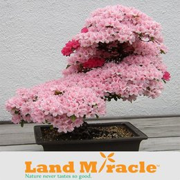 Wholesale Sakura Tree - 1 Professional Pack, 10seeds   Pack , Japanese cherry blossom Sakura seed oriental cherry Bosai Flower Seed Land Miracle LMTOP5