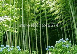 2019 semillas frescas de arbol Enorme 100 semillas gigantes Phyllostachys pubescens moso semillas de bambú resistente -Giant
