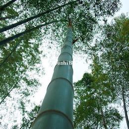 200 + ГИГАНТСКИЕ СЕМЕНА БАМБУКА MOSO cheap giant moso bamboo от Поставщики гигантский бамбук moso