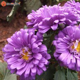 Semillas de aster online-Un paquete de 100 piezas Purple Crisantemo Callistephus Semillas de flores Balcón Potted Bonsai Plant Semillas de flores Aster Semillas