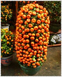 Wholesale Tree Pots Wholesale - Garden Plant Potted Edible Fruit Seeds mini Bonsai Orange Seeds China Climbing Orange Tree Seeds 100% fresh 50PCS   bag Bonsai
