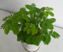 Wholesale Grass Pots - 100 pieces bonsai Albizia Flower seeds called Mimosa Seeds ilk Tree ,seeds for flower potted plants free shipping grass seeds