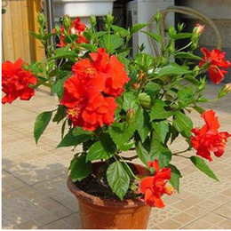 Wholesale Flowers Hibiscus - 30%OFF wholesale Multicolor mixed 65 ShrubALThea Flower seed 24 varieties , Hibisci HIBISCUS ROSA-SINENSIS seeds Free shipping