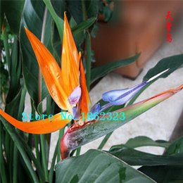 Wholesale Seeds Birds - 100 pcs Flowers seeds Strelitzia Reginae Seed beautiful orchid seeds hybrid bird paradise seed free shipping