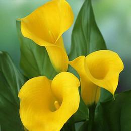 2019 lírio, flor, sementes Um Pacote de 100 Peças de Sementes de Calla Amarelo Varanda Em Vasos de Bonsai Pátio Sementes de Plantas Aethiopica Sementes de Lírio de Calla Flor desconto lírio, flor, sementes
