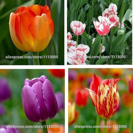 Wholesale Tulip Bag Wholesale - Tulip, tulip seeds, potted indoor and outdoor potted plants purify the air mixing colors,tulip flower - 100pcs   bag
