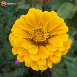 2019 flores zinnia Um Pacote 100 Pcs Amarelo Zinnia Sementes Varanda Bonsai Zinnia Elegans Pátio Em Vasos Sementes de Flores Semente de Flor desconto flores zinnia