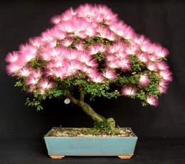 Wholesale Tree Pots Wholesale - 50 Seeds,Albizia Julibrissin Tree (MIMOSA PERSIAN SILK TREE)--Mini potted bonsai,DIY home garden Free Shipping SS124