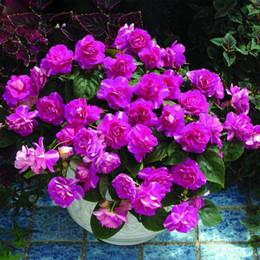 Wholesale Perennial Sales - Hot Sale Rare Purple Univalve Geranium Seeds Perennial Flower Seeds Pelargonium Peltatum Seeds for Indoor Rooms 30PCS