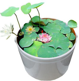 Wholesale Lotus Flower Bowl - 10 pcs (10 colors) bowl lotus flower plants lotus seed plant bonsai Lotus seeds teach you How to Plant home Garden Free Shipping