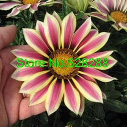 30 sementes / pacote Gazania Novo Dia Rose Stripe Sementes de Flores Tolerantes À Secagem Reseeding Anualgaeden Decoração Bonsai margarida Sementes de Flores de