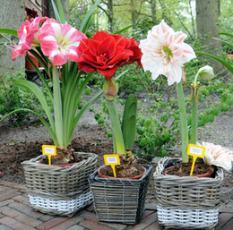 Wholesale Wholesale Lily Flowers Bags - Amaryllis seeds, free shipping cheap Amaryllis seeds, Barbados lily potted seed, Bonsai balcony flower - 100 pcs bag
