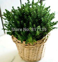 Semillas de invierno online-Diy Home Garden Plant 100 Semillas de Hierbas - Thymus Mongolicus, Thymus Vulgaris - English Thyme Herbal SEMILLAS Envío Gratis