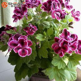 rosa rara olandese Sconti Un pacchetto di 20 pezzi semi di geranio foglia d'acero, semi di fiori perenni pelargonium fiori domestici per le camere