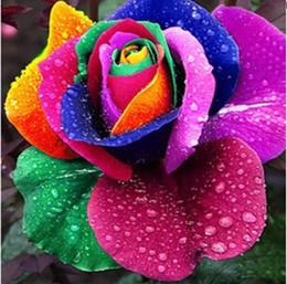semi di rosa all'ingrosso arcobaleno Sconti Commercio all'ingrosso 500 pz arcobaleno semi di rose multicolore semi di rosa semi di fiori rosa sementes per il giardino