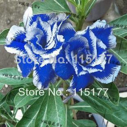 Wholesale Bonsai Roses - Bonsai Blue Polyphyll Flower Desert Rose Double Adenium Obesum Seeds 10pcs Free Shpping