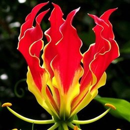 Wholesale Plants Lilies - A Package 50 Pieces Garland Flame Lilium brownii Flower Seeds Balcony Bonsai Courtyard Plant Flowers Lily Seeds