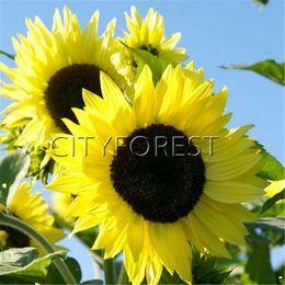 Wholesale Organic Flower Gardening - Sunflower Light Yellow Flower 50 Seeds for Planting Showy Heirloom Productive Easy-growing Popular DIY Home Garden Landscape Flowering Plant