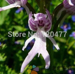 plantes roses du désert Promotion Orchis italica, également connu sous le nom de: hommes italiens orchidées, pyramide singe orchidée, testicules d'orchidées -100 graines / lot