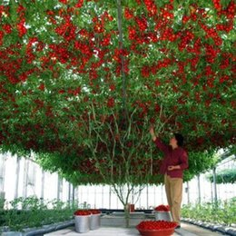 Wholesale Tomato Seeds Wholesale - 50 Pcs Italian Tree Tomato Seeds , productive 'Trip L Crop' Seeds Free Shipping SS076