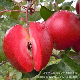 Piante di frutta online-Mela rossa mela frutta amore carne rossa, alberi da frutto in vaso possono essere piantati alberi da frutto 20 semi / confezione