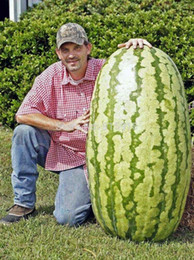 Wholesale Giant Fruit Seeds - Fruit seeds 20 pcs Giant Watermelon Seeds- HUGE 200 lbs,Home gardening, free shipping!