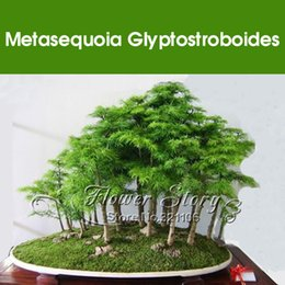 Wholesale Wholesale Real Tree - 50 Pcs Dawn Redwood Forest Bonsai Seeds -100% Real fresh seeds - Metasequoia glyptostroboides - Grow Your Own Bonsai Tree SS001