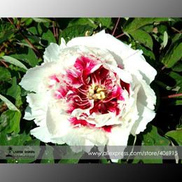 Peonia bianca rara 'Hua Cat' con semi di fiori rossi a forma di cuore, confezione professionale, 5 semi / confezione, leggera fragranza E3355 da