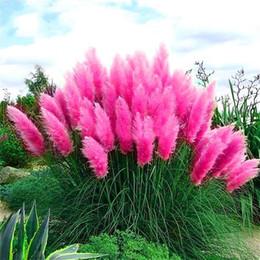 2017 nuovo a buon mercato 100 pz / borsa rosa pampa semi di erba molto belle piante da giardino bonsai per la casa giardino p100213 da