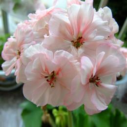 Wholesale Perennial Sales - Hot Sale Rare Pale Pink White Petals Geranium Seeds, Perennial Flower Seeds Pelargonium Peltatum Flowers for Rooms 30PCS