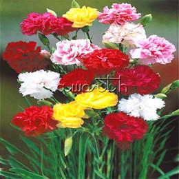 Garofani misti di colore 100 Semi di fiori freschi Grande fiore profumato perenne Fiori da taglio di lunga durata Paesaggio Balcone Giardino Pianta da