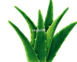 Wholesale Fruit Trees Planting - Vegetables and fruit seeds Aloe vera seeds edible beauty Edible cosmetic Bonsai plants Seeds for home & garden 100 seeds bag