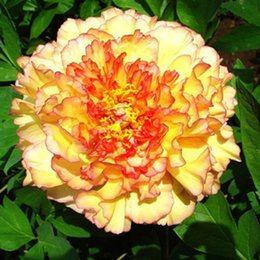 Wholesale Peonies Seeds - mixed color 10seeds bag Flower seeds potted peony flower seeds garden balcony easy to plant peony seeds