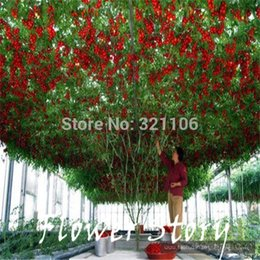 Wholesale Tomato Seed Wholesaler - 20 Italian Tree Tomato *RARE HEIRLOOM!!* SEEDS OF LIFE TOMATO GIANT TREE Free Shipping